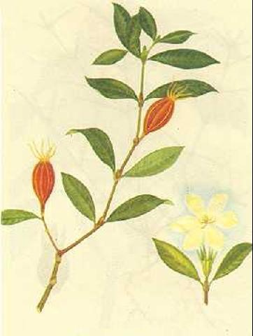 栀子花树形手绘素描